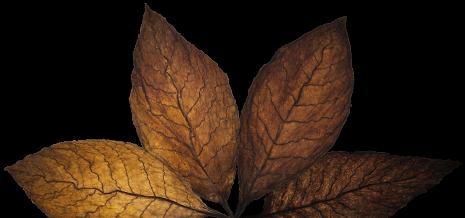stg-leafs-2